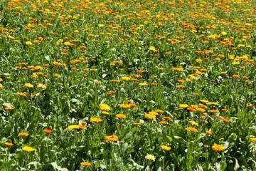 Feld mit Ringelblumen