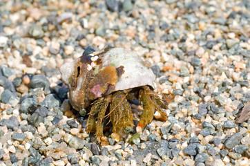 Hermit crab 29