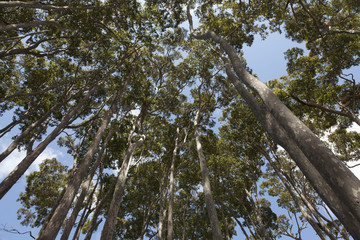 Eucalyptus trees in Australia