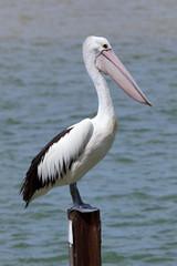Pelican at Rainbow Beach ,Australia