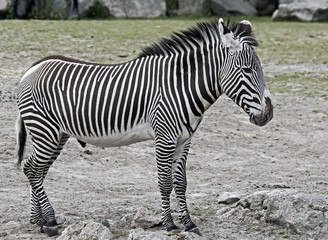 Grevy`s zebra