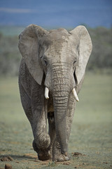 Fast Approaching Elephant