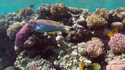 Coral fish Thalassoma Klunzingeri nearby a coral reef in the Red