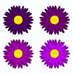 Set de flores en tonos morados. Margaritas de colores. Primavera