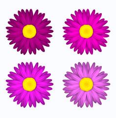 Set de flores en tonos rosas. Margaritas de colores. Primavera
