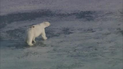 Polar Bear Ice Glacier