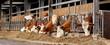 Leinwanddruck Bild - Kühe im stall