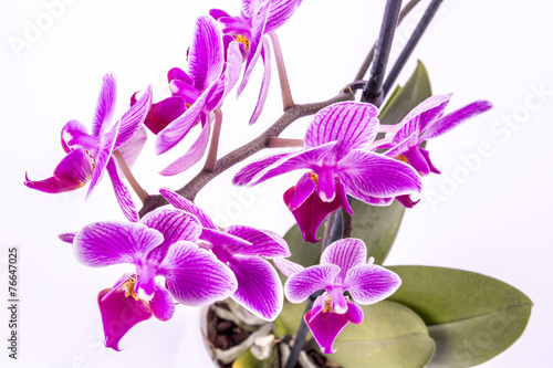 canvas print picture Orchidee