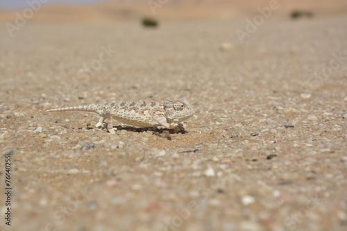 Poster Kameleon Namibwüste nahe Swakopmund, Namibia, Afrika