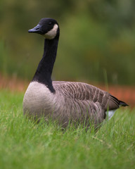 canada Geese in green grass