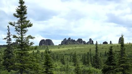 Alaska Rock Pine Tree