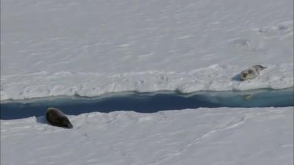 Polar Arctic Harp Seal Snow