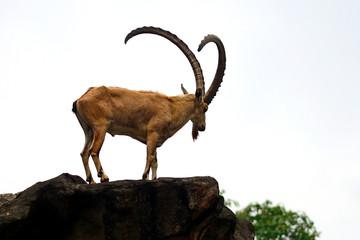 Nubian ibex, Singapore