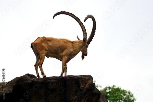Fotobehang Singapore Nubian ibex, Singapore