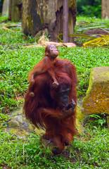 Sumatran orangutans, Singapore