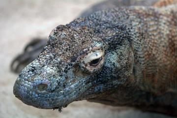 Komodo dragon, Singapore
