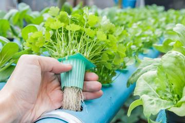 Hand hold Coriander planting Water Hydroponics