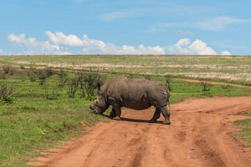 Rhinoceros, Pilanesberg national park. South Africa.