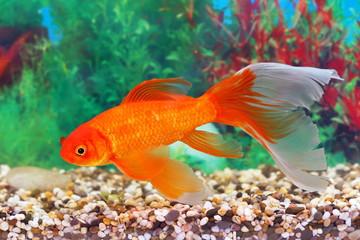 Goldfish in an aquarium interior