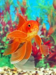 Goldfish in an aquarium