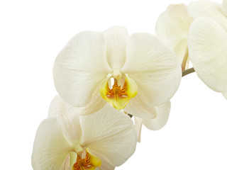 Cream orchid flower isolated on white background