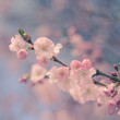 Pastel Filtered Cherry Blossom