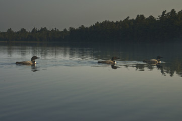 Three Common Loons on a North Woods Lake