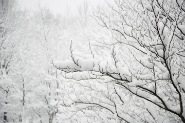 Snow covered branches, cloudy weather