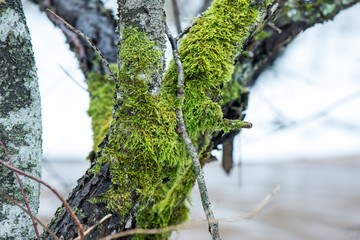 old tree trunk with green moss and bark