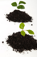 young plants in soil growing up on white background