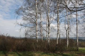 Birch grove in Norh Bohemia, Czech Republic.