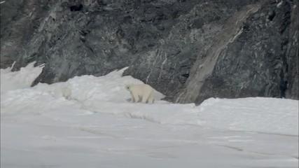 Polar Bears Scavenging Norway Polar