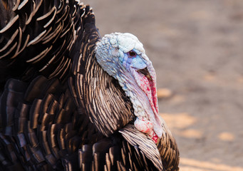 Profile of a thankgiving turkey isolated on a over orange backgr