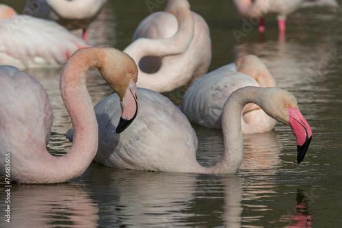 Foto op Aluminium Flamingo Gruppe Flamingos 5