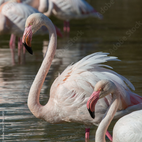 Foto op Canvas Flamingo Gruppe Flamingos 7