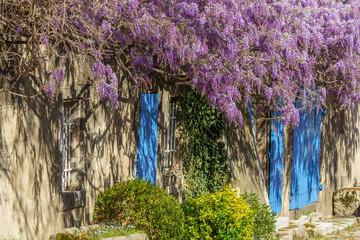 Blauregen Hauswand