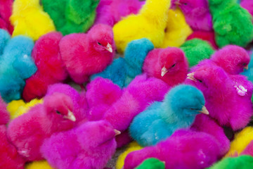lovely, colorful painted chicks