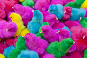 lovely colorful bright painted chicks, green, yellow, blue, pink