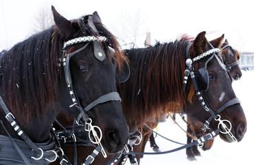Team of Canadian horses