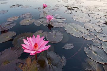タイ ウドンタニ タレーブアデーン スイレンの花