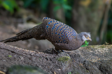 Grey Peacock-Pheasant(Polyplectron bicalcaratum) in nature