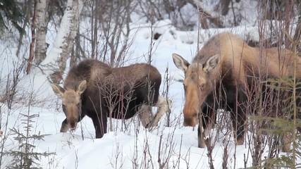 Alaska Moose Snow Nature