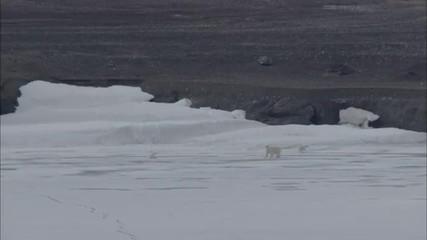 Polar Bear Near Coastline