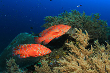 Pair Grouper fish on coral reef