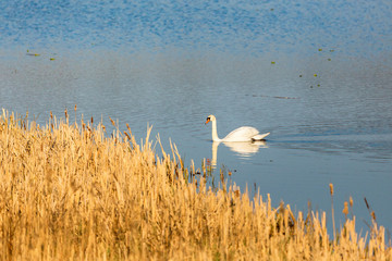Lake with mute swans