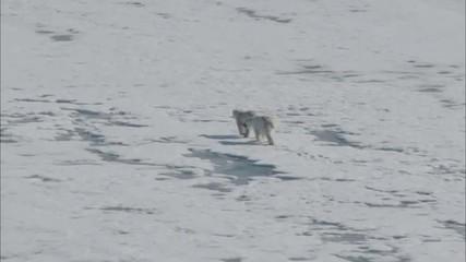Tundra Polar Bears