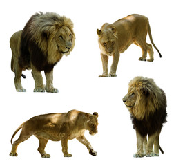 lions. Isolated on white