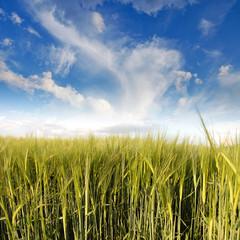 Green Barley under the Sky