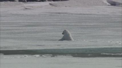 Polar Bear Ice Swim Coastline