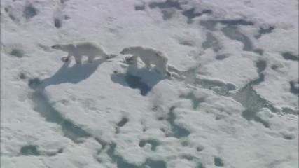 Polar Bear Arctic Tundra
